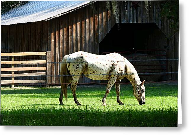 Pastureland Greeting Cards - Appaloosa Morning Greeting Card by Laura Ragland
