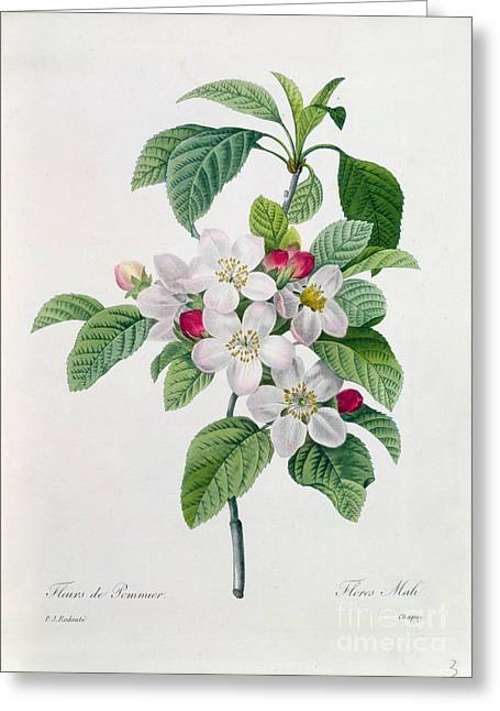 Apple Blossom Paintings Greeting Cards - Apple Blossom Greeting Card by Pierre Joseph Redoute