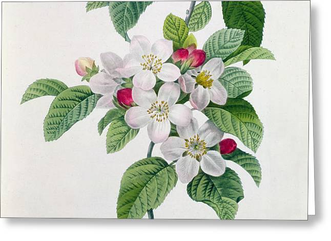 Apple Blossom Greeting Card by Pierre Joseph Redoute