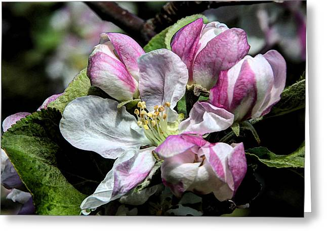 Flower Blossom Greeting Cards - Apple Blossoms 1 Greeting Card by Frank Guemmer