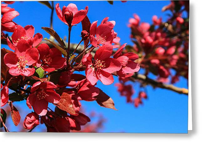 Apple Blossoms #2 Greeting Card by Laurie Breton