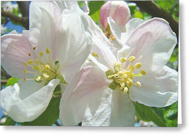 Pink Blossoms Greeting Cards - Apple Blossoms art print Spring Floral canvas art Baslee Troutman Greeting Card by Baslee Troutman