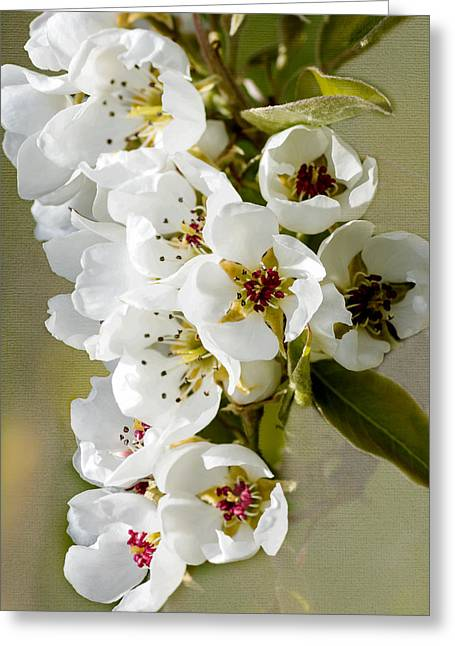Fruit Tree Art Greeting Cards - Apple Blossoms Greeting Card by John Trax