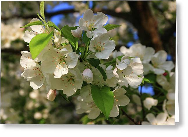 Apple Blossoms  Greeting Card by Laurie Breton