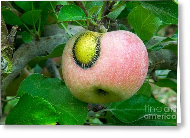 Apple Greeting Cards - Apple Scab Greeting Card by Inga Spence