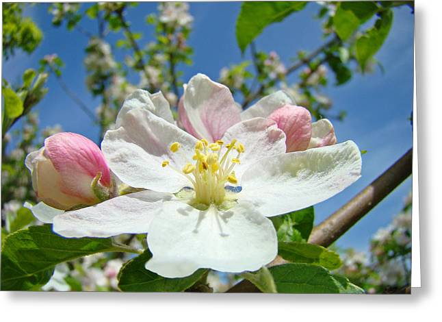 Pink Blossoms Greeting Cards - Apple Tree Blossom art prints Springtime Nature Baslee Troutman Greeting Card by Baslee Troutman