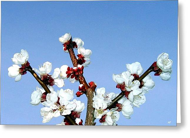 Apricot Tree Greeting Cards - Apricot Blossoms Greeting Card by Will Borden