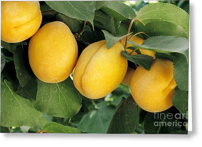 Ripening Fruit Greeting Cards - Apricots On Branch Greeting Card by Inga Spence