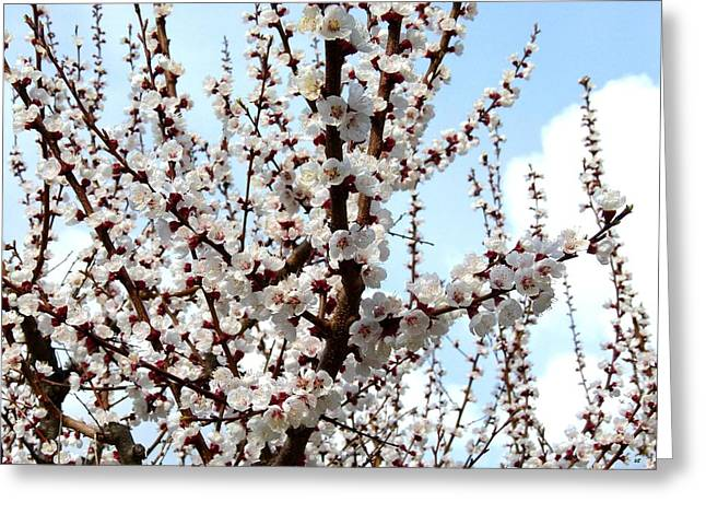 Flowering Branch Greeting Cards - April Apricot Blossoms Greeting Card by Will Borden