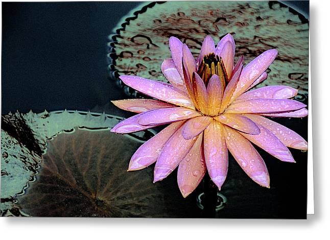 Aquatic Beauty Night Blooming Water Lily Greeting Card by Julie Palencia
