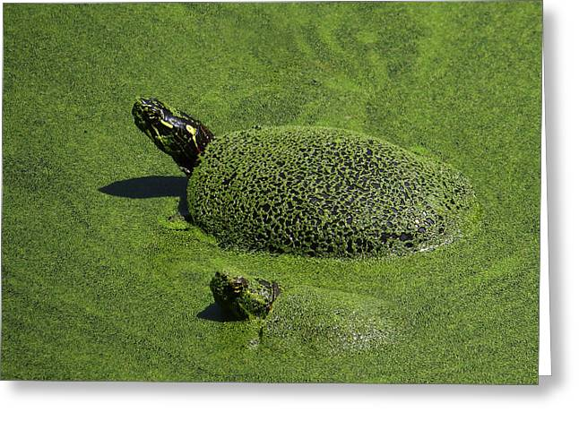 Alga Greeting Cards - Aquatic Turtle Jacuzzi Greeting Card by Shawna  Rowe