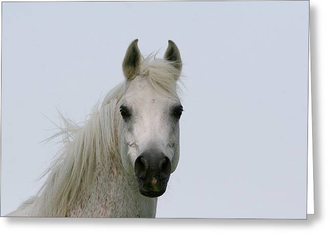 White Horses Photographs Posters Greeting Cards - Arabian horse mare Greeting Card by El Luwanaya Arabians