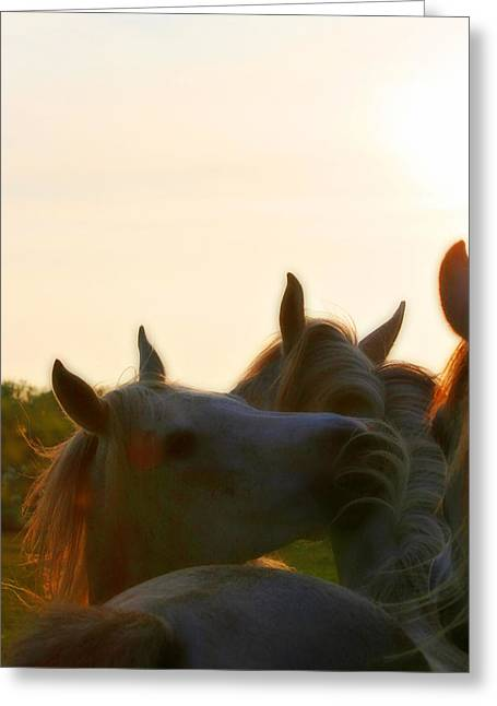 White Horses Photographs Posters Greeting Cards - Arabian mares sunset Greeting Card by El Luwanaya Arabians