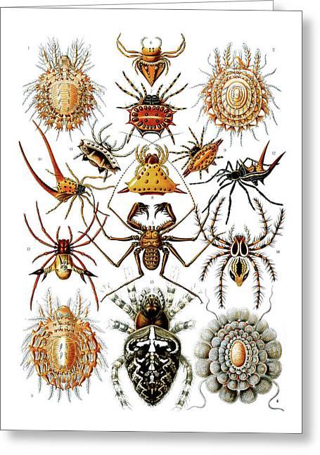 Kunstformen Der Natur Greeting Cards - Arachnida Spiders Greeting Card by Ernst Haeckel