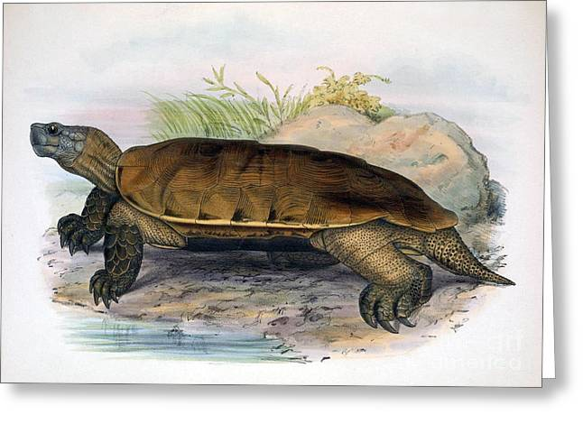 Critically Endangered Species Greeting Cards - Arakan Forest Turtle, Endangered Species Greeting Card by Biodiversity Heritage Library