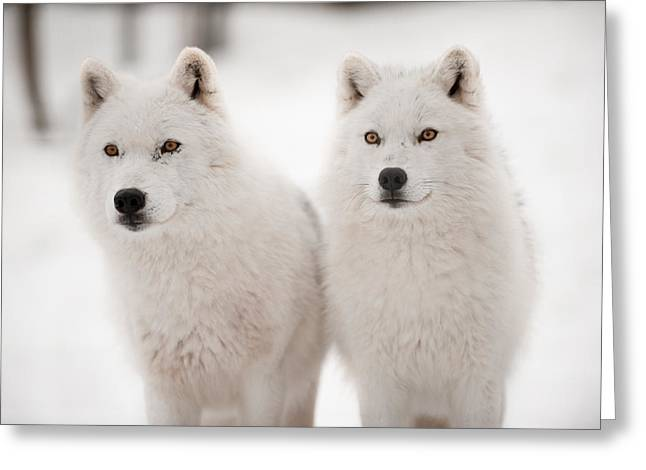 Arctic Wolf Greeting Cards - Arctic duet Greeting Card by PNDT Photo
