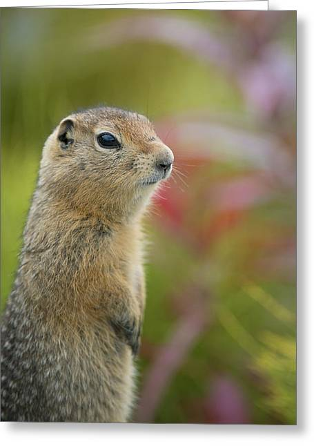 Rearing Up Greeting Cards - Arctic Ground Squirrel, Alaska Greeting Card by Cathy Hart