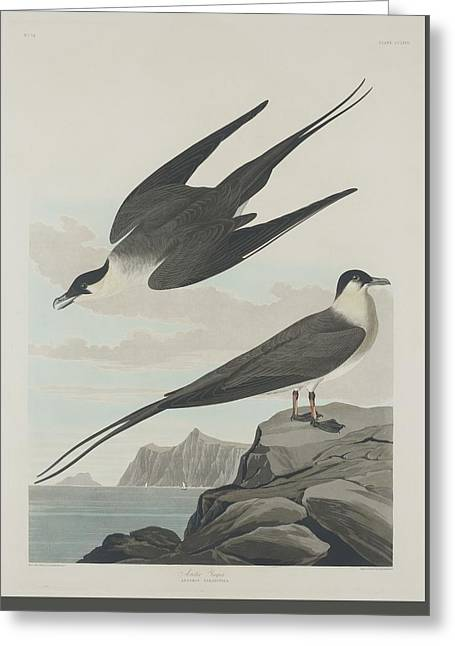 Shorebird Greeting Cards - Arctic Jager Greeting Card by John James Audubon