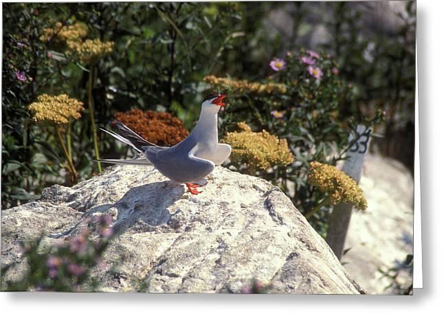 Machias Seal Island Greeting Cards - Arctic Tern Calling Greeting Card by John Burk