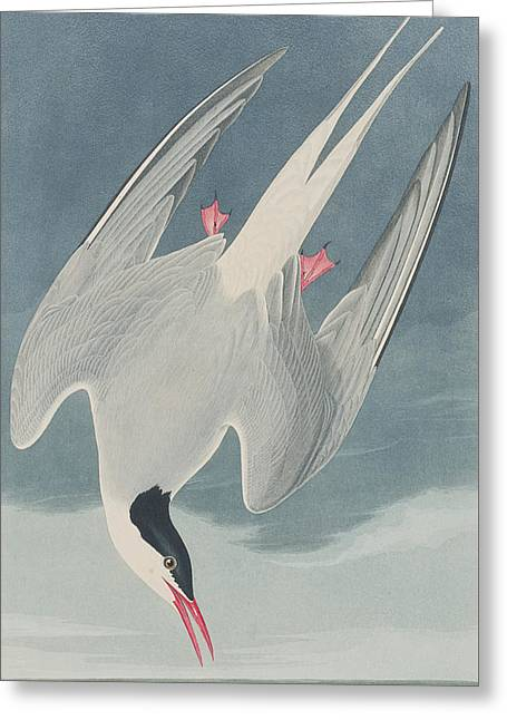 Hunting Bird Drawings Greeting Cards - Arctic Tern Greeting Card by John James Audubon