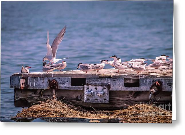 Tern Greeting Cards - Arctic tern on Hampton River Greeting Card by Claudia Mottram