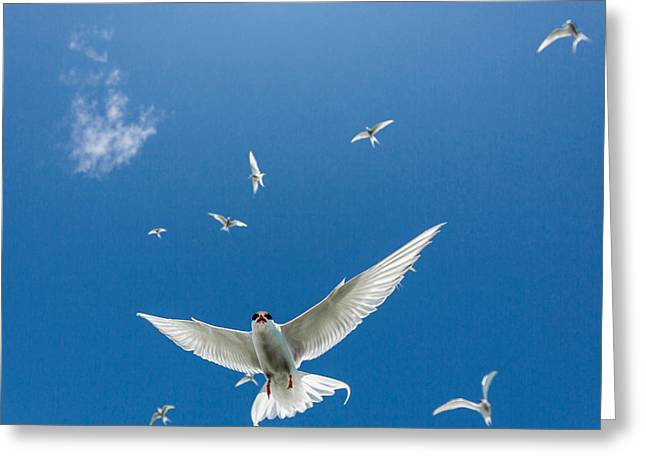 Arctic Terns Flying, Iceland Greeting Card by Panoramic Images