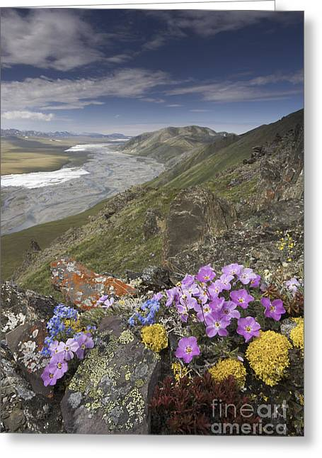 Side Braid Greeting Cards - Arctic Wildflowers, Alaska Greeting Card by Art Wolfe/MINT Images