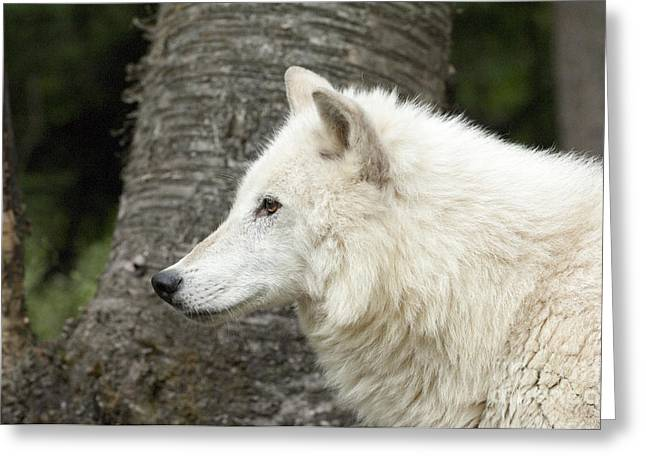 Arctic Wolf Greeting Cards - Arctic Wolf - On Watch Greeting Card by Sandra Bronstein