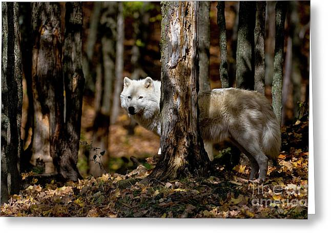 Arctic Wolf In Forest Greeting Card by Michael Cummings