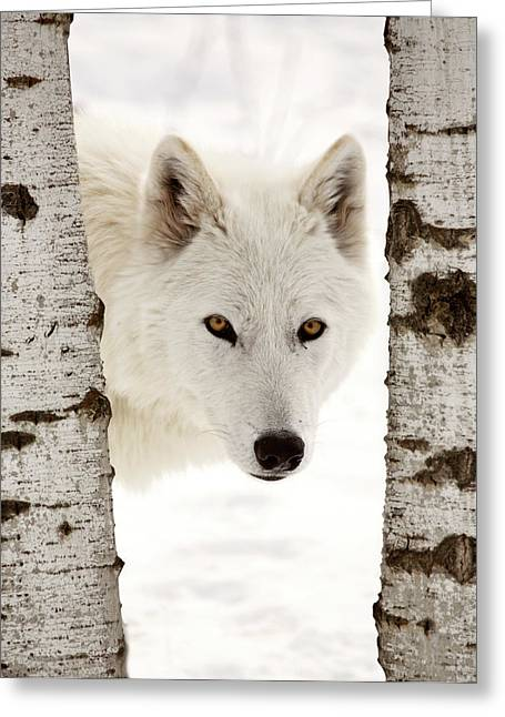 Arctic Wolf Greeting Cards - Arctic Wolf seen between two trees in winter Greeting Card by Mark Duffy