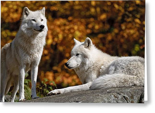 Arctic Wolves on Rocks Greeting Card by Michael Cummings