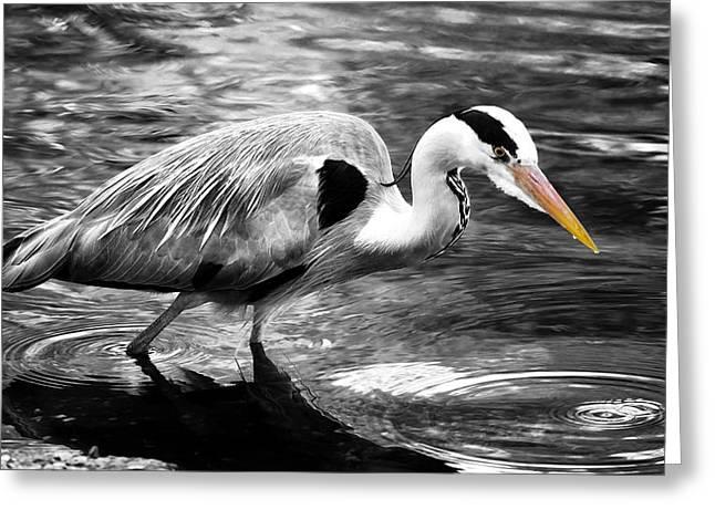 Gray Heron Greeting Cards - Ardea Cinerea - Grey Heron Greeting Card by Mark Rogan