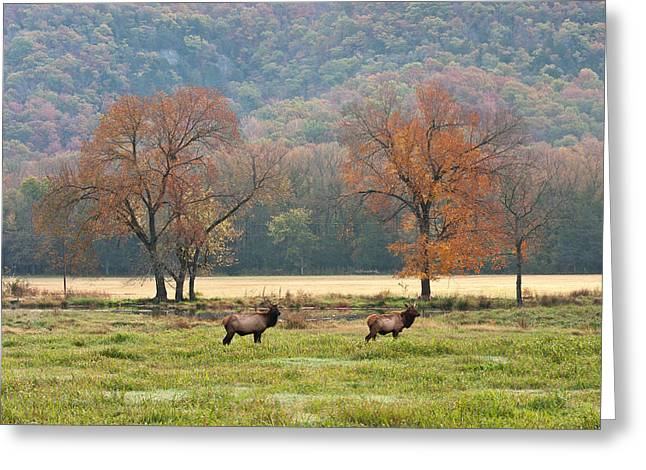Boxley Valley Greeting Cards - Arkansas Elk - 7802 Greeting Card by Jerry Owens