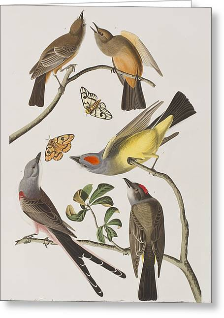 Butterfly Prey Greeting Cards - Arkansaw Flycatcher Swallow-Tailed Flycatcher Says Flycatcher Greeting Card by John James Audubon