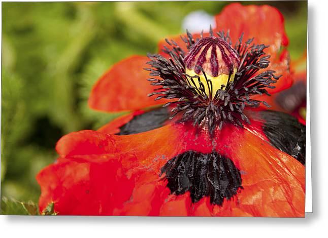 Wildlife In Gardens Greeting Cards - Arlequin  Greeting Card by Alexander Rozinov