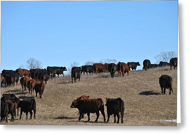 Cattle Run Greeting Cards - Arrival Part 1 Greeting Card by Lisa Young