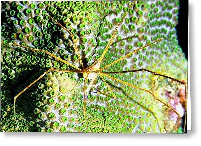 Snorkel Greeting Cards - Arrow Crab on field of Green Star Coral Greeting Card by Amy McDaniel