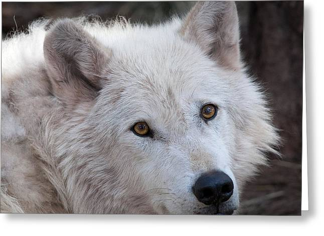 Square Format Greeting Cards - Artic Wolf Greeting Card by Laurinda Bowling