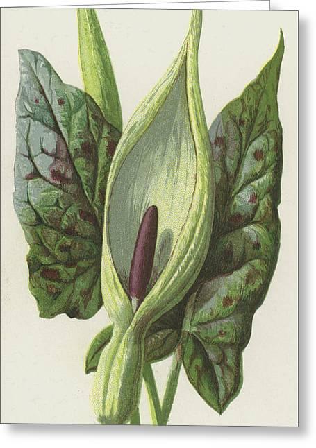 Arum, Cuckoo Pint Greeting Card by Frederick Edward Hulme