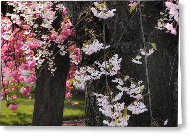Weeping Greeting Cards - Asian Cherry Greeting Card by Jessica Jenney