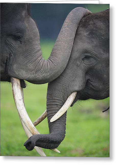 Cyril Greeting Cards - Asian Elephant Greeting Greeting Card by Cyril Ruoso