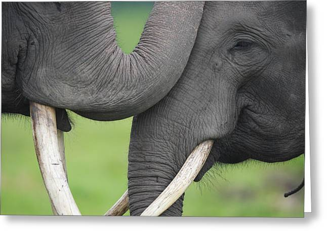 Asian Elephant Greeting Greeting Card by Cyril Ruoso