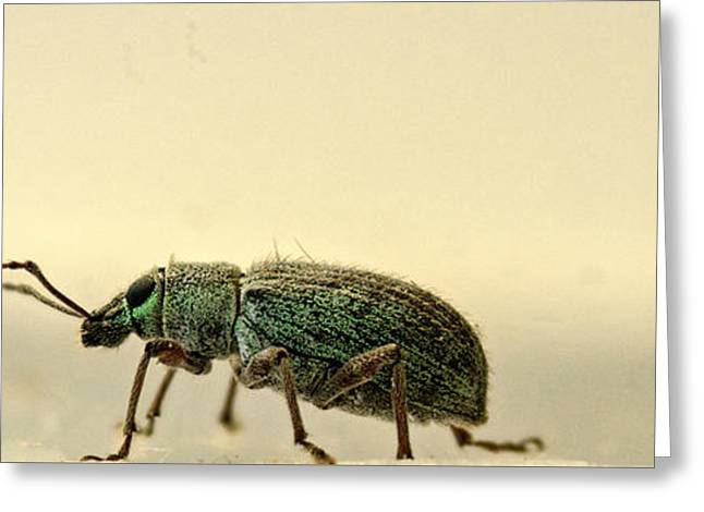Pairs Greeting Cards - Asiatic Oak Weevil Crawling Forward Greeting Card by Douglas Barnett