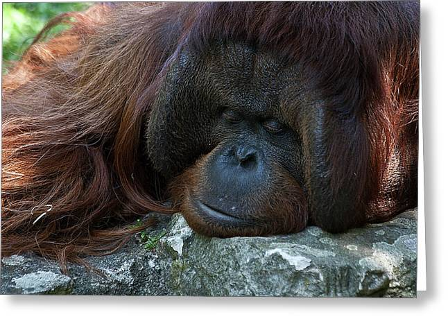 Orang-utans Greeting Cards - Asleep Greeting Card by Heiko Koehrer-Wagner