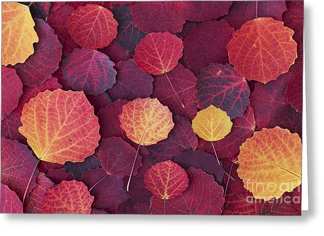 Aspen Autumn Greeting Card by Tim Gainey