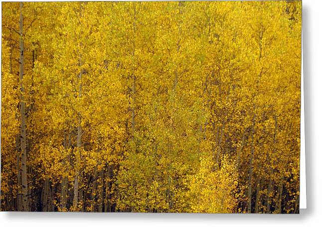 Aspen Fall 2 Greeting Card by Marty Koch