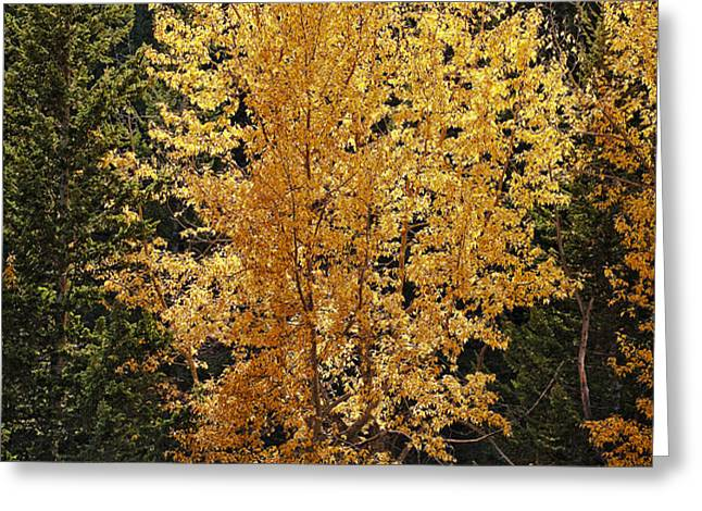 Aspen Gold Greeting Card by Kelley King