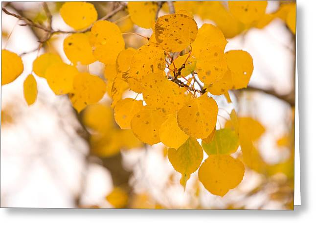 High Country Greeting Cards - Aspen Leaves Greeting Card by James BO  Insogna