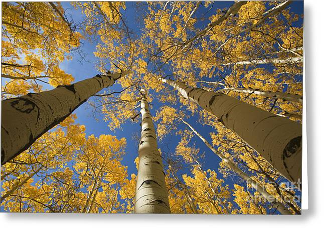 Steamboat Springs Western Greeting Cards - Aspen Tree Canopy 1 Greeting Card by Ron Dahlquist - Printscapes