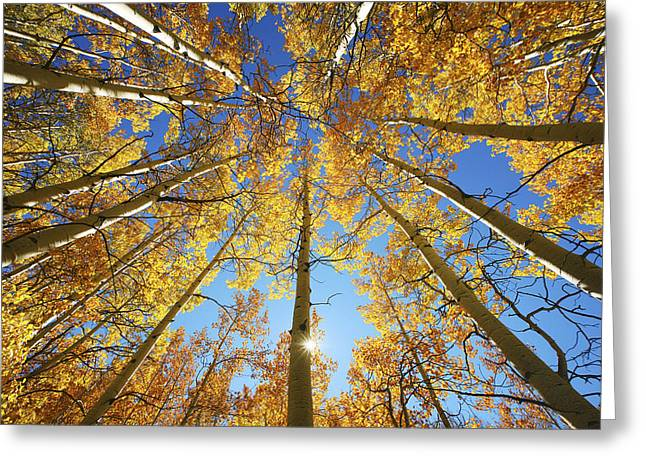 Autumn Aspens Greeting Cards - Aspen Tree Canopy 2 Greeting Card by Ron Dahlquist - Printscapes